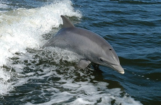 Outer Banks Cruises - Dolphin Jumping Out of Water